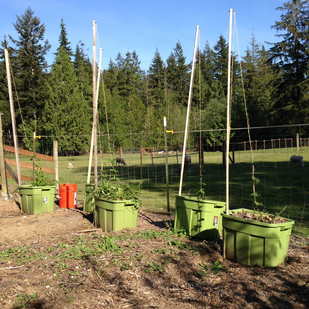 The 2016 hopyard: Willamette, Centennial, Cascade, Chinook, and Mt. Hood hops